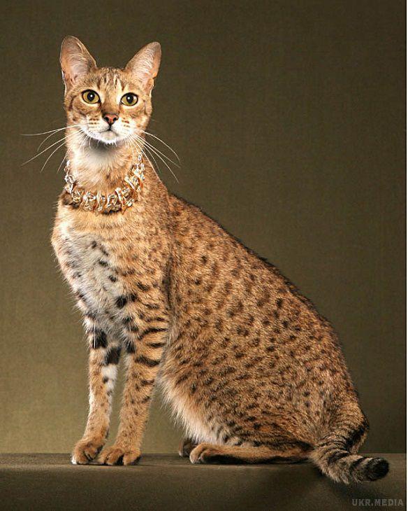 До 40 тыс. евро: 10 фото самых дорогих кошек - кроме безумной цены, они еще и невероятно милые - фото 11