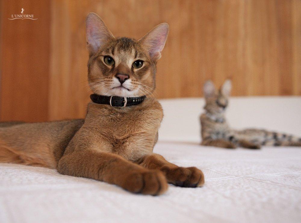 До 40 тыс. евро: 10 фото самых дорогих кошек - кроме безумной цены, они еще и невероятно милые - фото 10