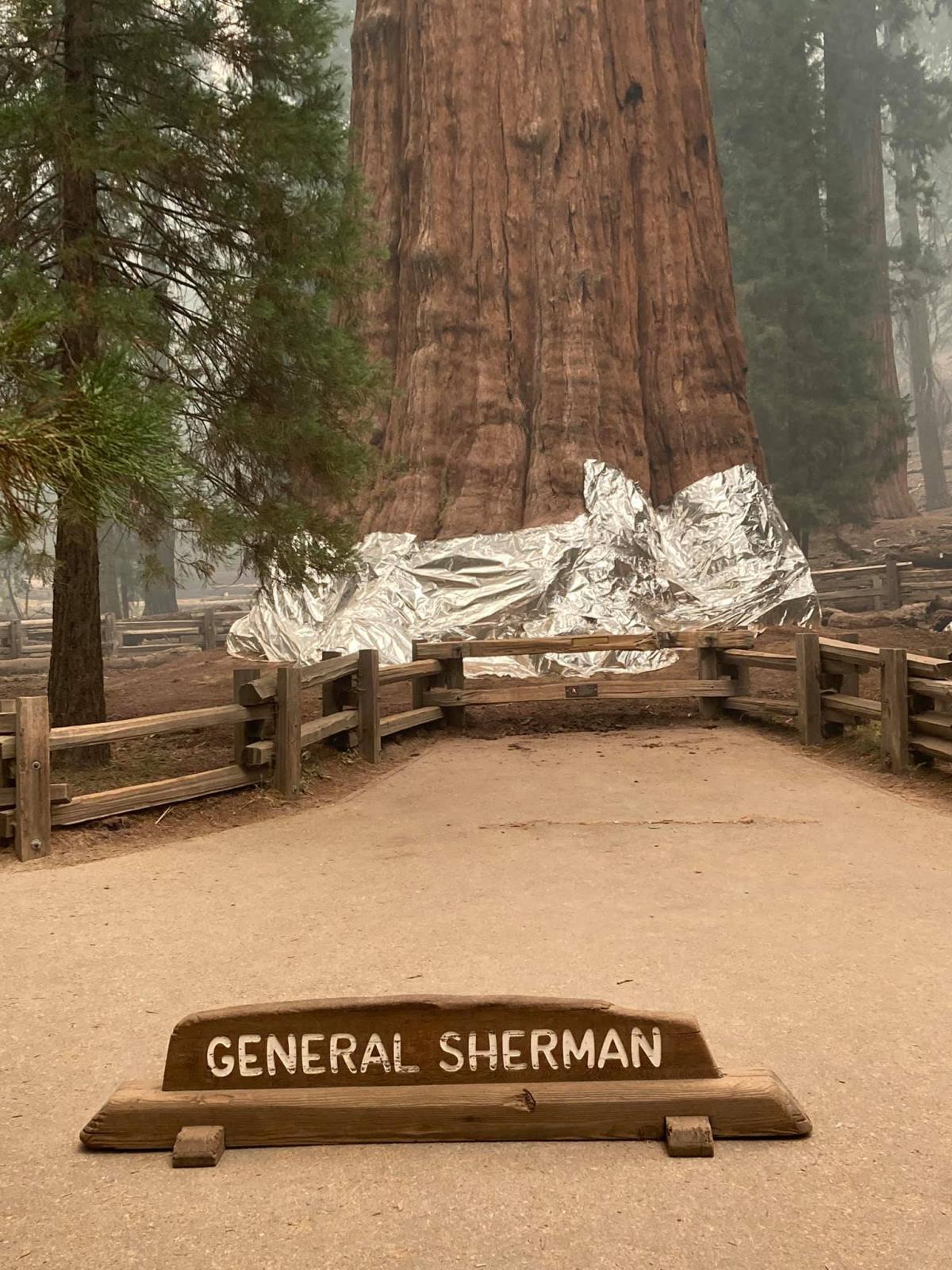 """Зачем в США укрыли """"одеялом"""" самое большое дерево на планете (ФОТО) - фото 2"""