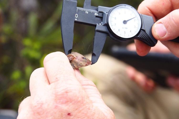 Ученые нашли карликовых опоссумов, которые выжили во время лесных пожаров в Австралии (фото) - фото 4