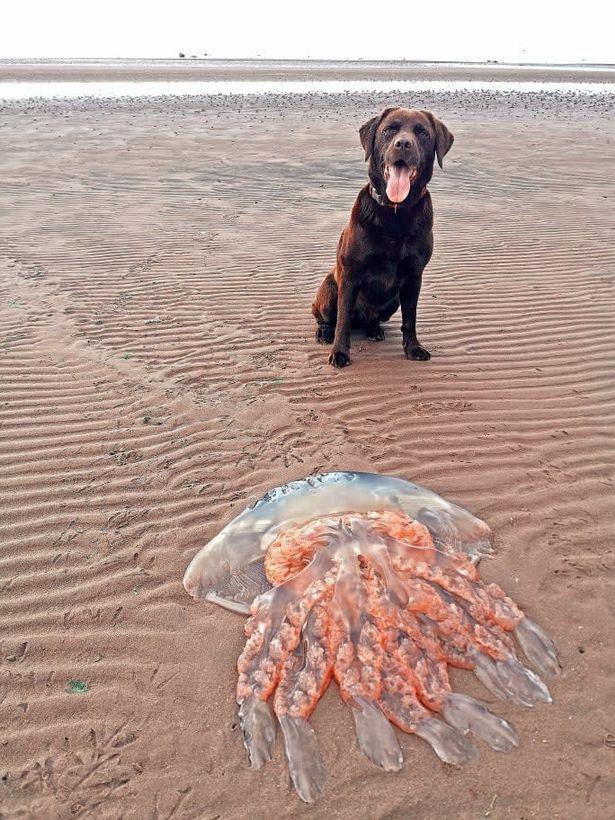 В Шотландии на берег вынесло медузу размером с собаку - фото 2