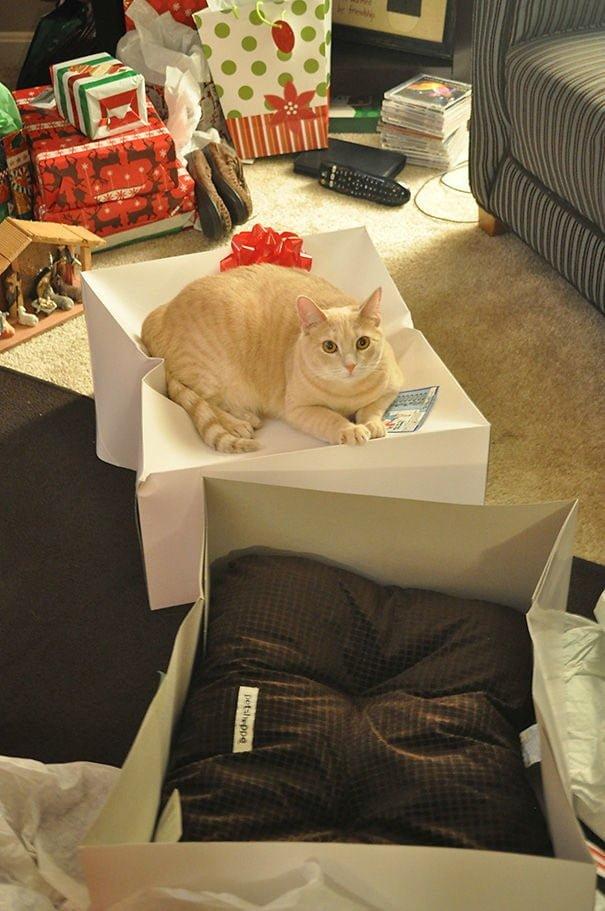 15 фото кошек, которые не оценили подарков от хозяев - фото 15