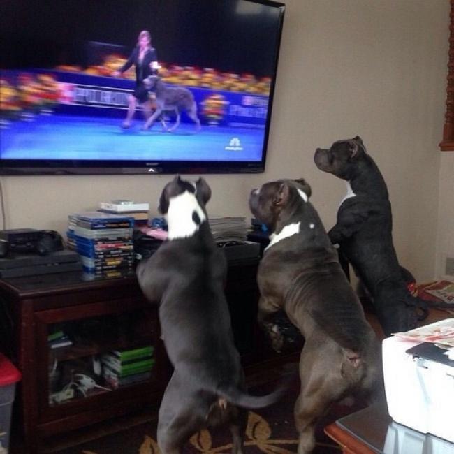 Порция позитива: собаки, которые явно возомнили себя человеком (фото) - фото 14