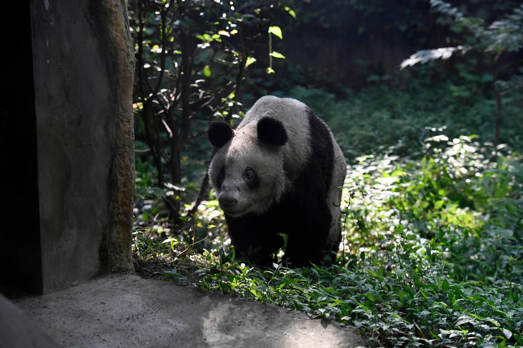 Прощай, Синь Син — не стало самой старой в мире панды - фото 3