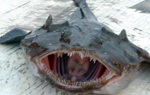 В Індії спіймали морського диявола вагою 750 кг - фото 2