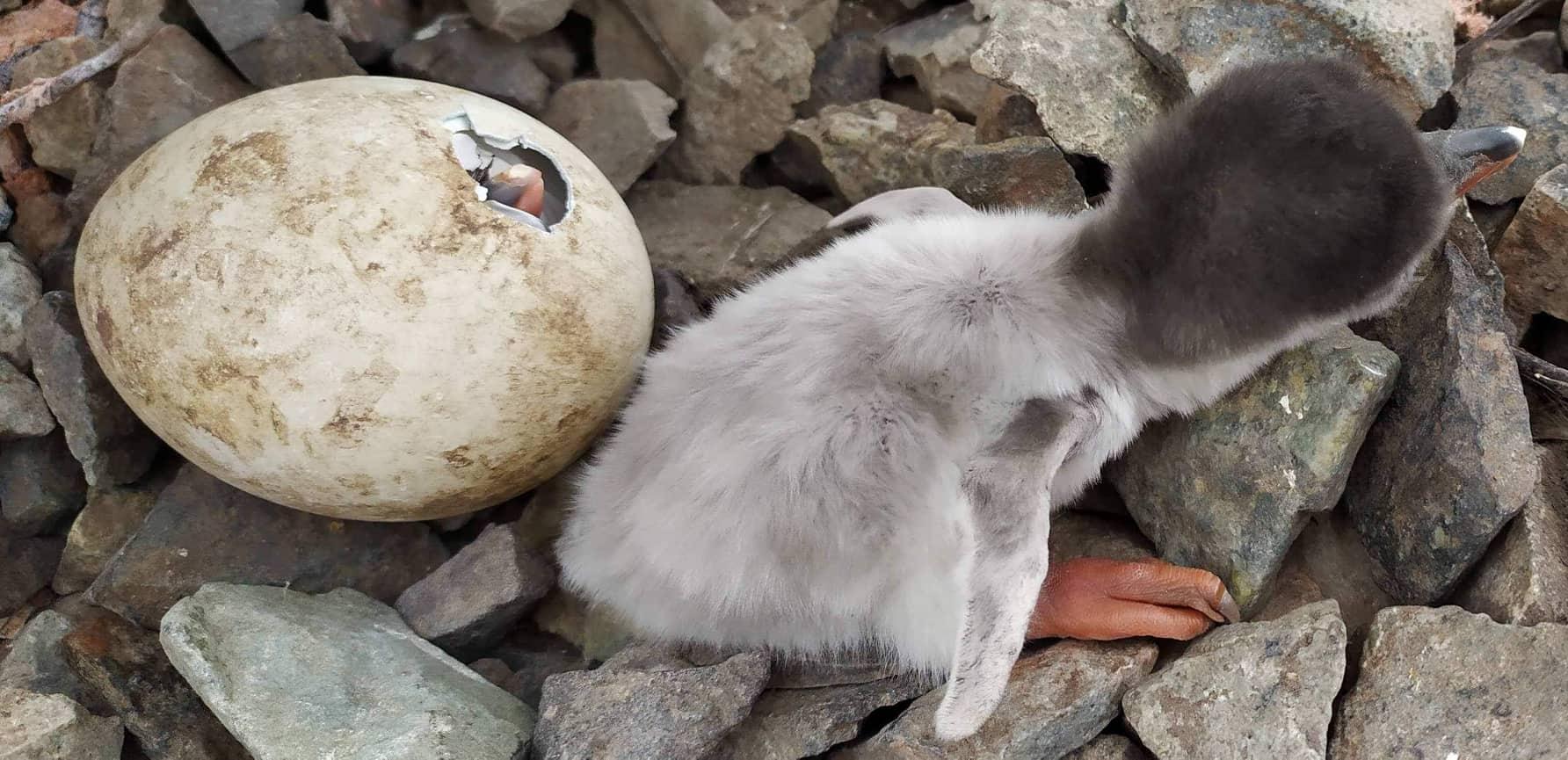 На День Святого Миколая на Станції Вернадського сталося диво - з'явилися перші в цьому році пінгвінята - фото 2