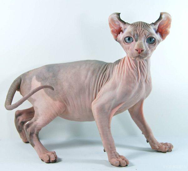 До 40 тыс. евро: 10 фото самых дорогих кошек - кроме безумной цены, они еще и невероятно милые - фото 4