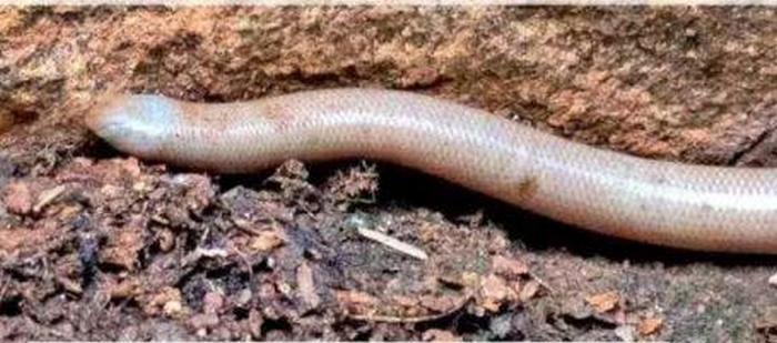 ФОТОФАКТ: в Индии нашли редчайшую змею-альбиноса - фото 2
