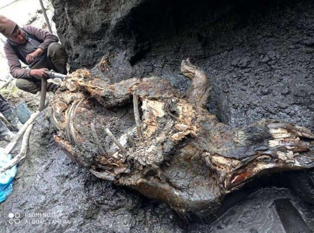 Ученые обнаружили шерстистого носорога из ледникового периода (фото) - фото 2
