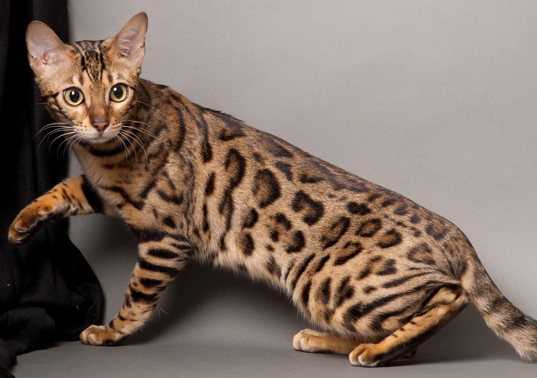 До 40 тыс. евро: 10 фото самых дорогих кошек - кроме безумной цены, они еще и невероятно милые - фото 7
