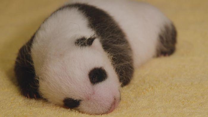 Місячне дитинча панди: ці фото і відео зворушать будь-кого - фото 4