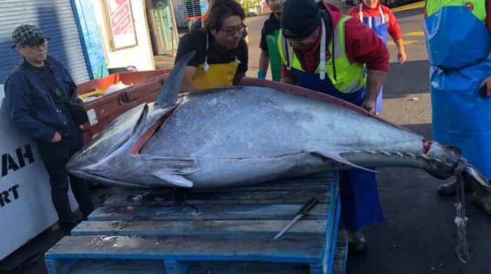 Новий рекордсмен: рибалки зловили 271-кілограмового тунця (ФОТО) - фото 2