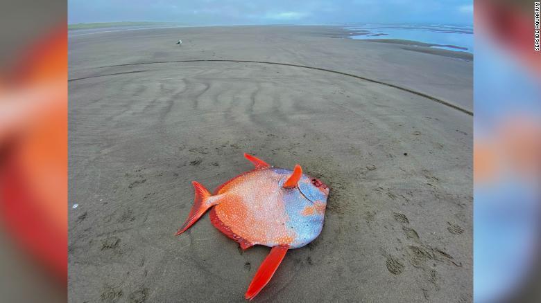 Тропический гигант: на берег Тихого океана вынесло уникальную рыбу (ФОТО) - фото 3