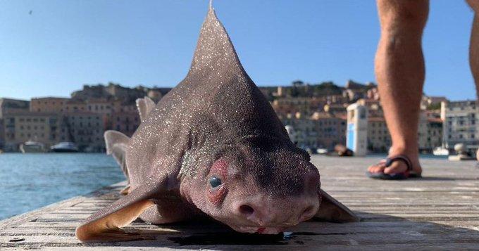 "Голова свиньи и тело акулы: в Италии поймали необычного ""зверя"" (ФОТО) - фото 2"