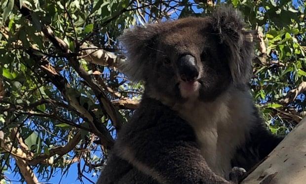 В Австралии из-за коалы произошло массовое ДТП: есть пострадавшие (ФОТО, ВИДЕО) - фото 3