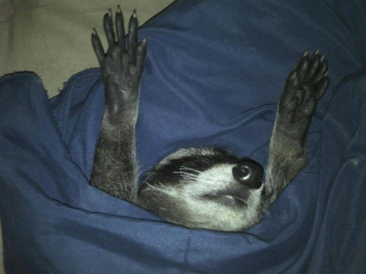 Спят усталые зверушки - фотографии животных, которые заснули в случайных местах  - фото 17