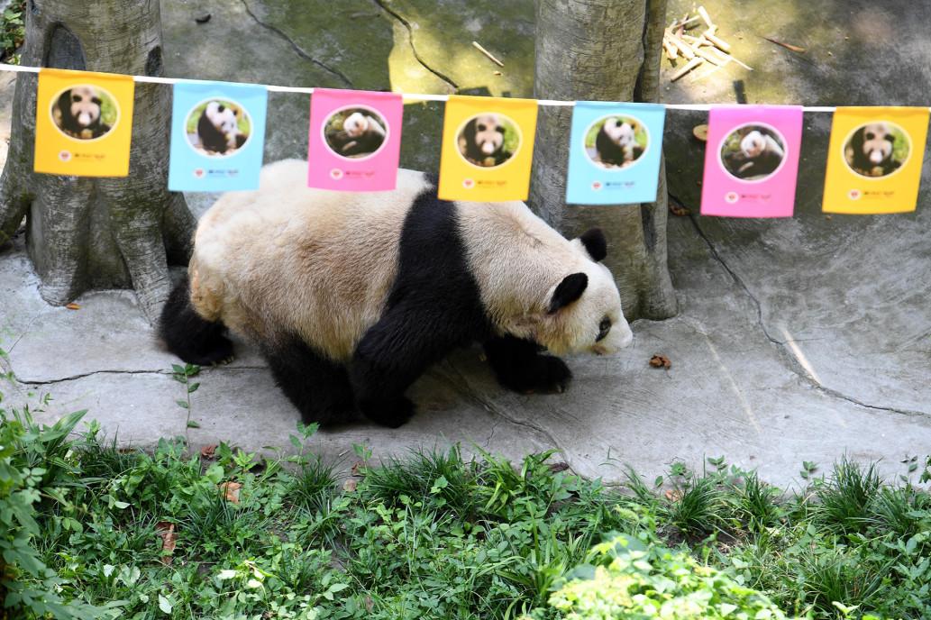 Прощай, Синь Син — не стало самой старой в мире панды - фото 4