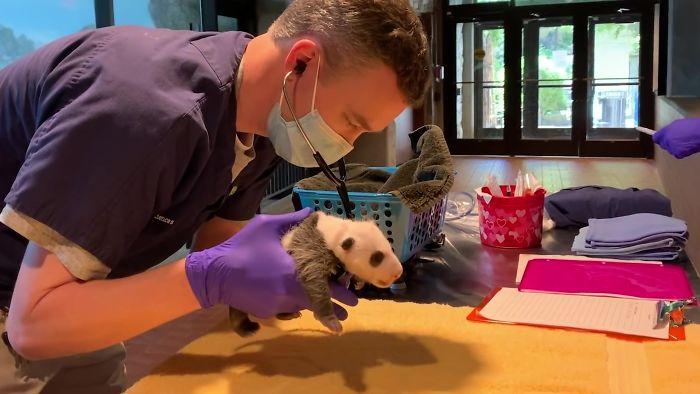 Місячне дитинча панди: ці фото і відео зворушать будь-кого - фото 2