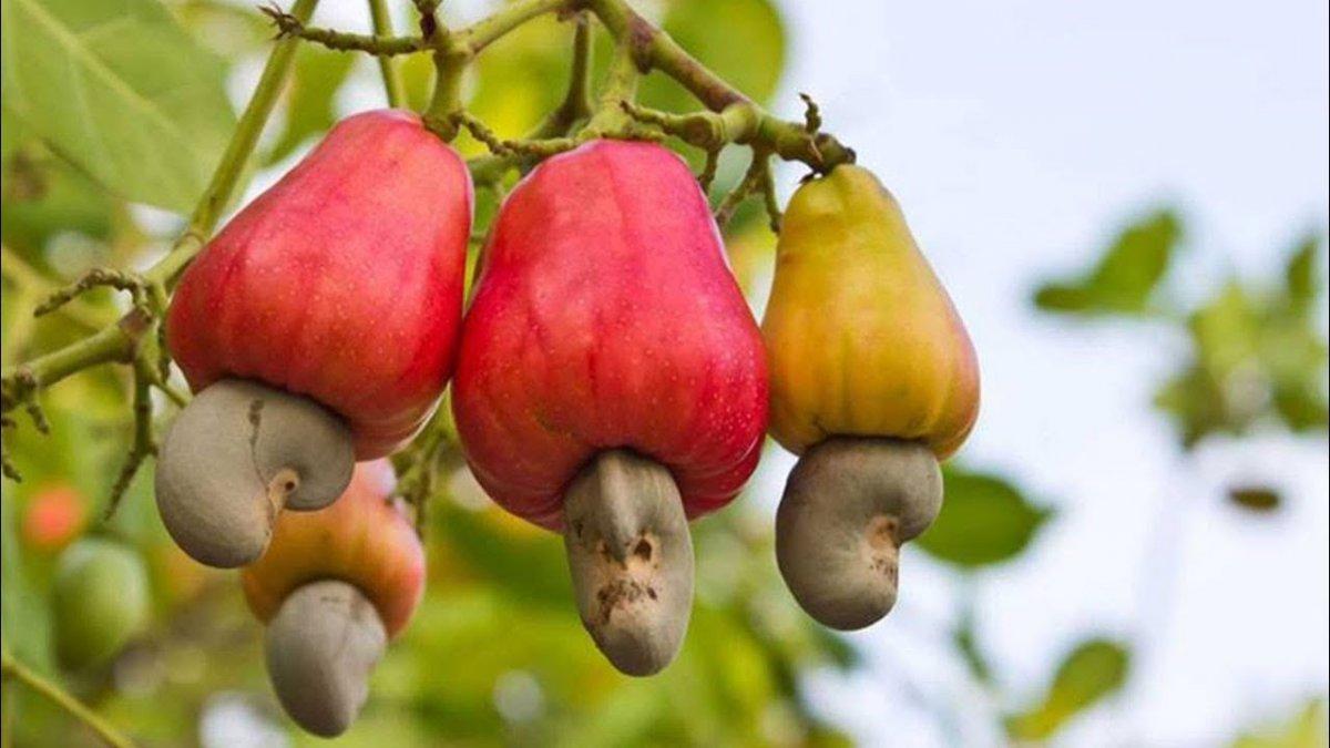 ТОП-5 самых опасных фруктов в мире - фото 4