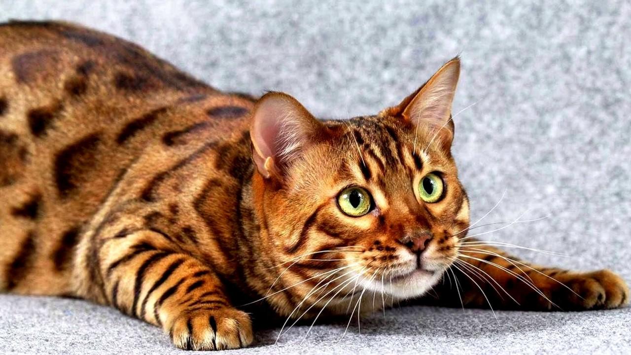 До 40 тыс. евро: 10 фото самых дорогих кошек - кроме безумной цены, они еще и невероятно милые - фото 5