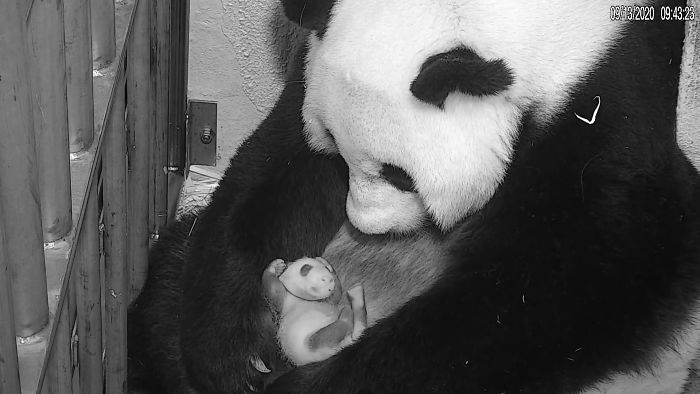 Місячне дитинча панди: ці фото і відео зворушать будь-кого - фото 3