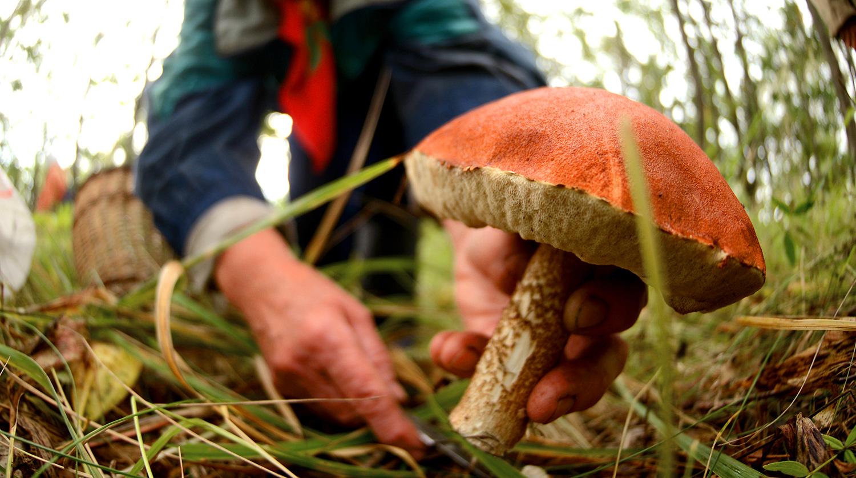 грибы удмуртии когда собирать