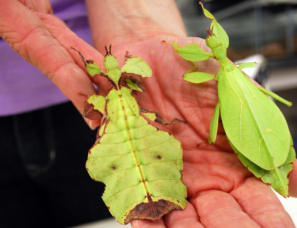Топ комах-гігантів з усього світу - фото 5
