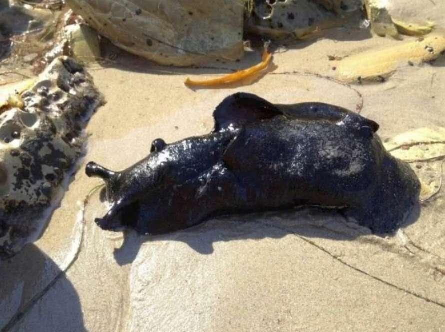 В Тихом океане обнаружили гигантских слизней (ФОТО) - фото 3