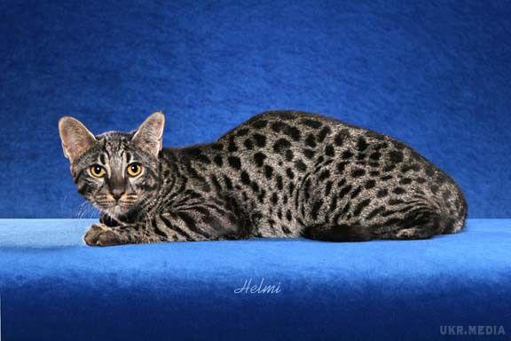 До 40 тыс. евро: 10 фото самых дорогих кошек - кроме безумной цены, они еще и невероятно милые - фото 8