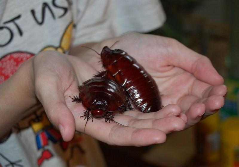 Топ комах-гігантів з усього світу - фото 3