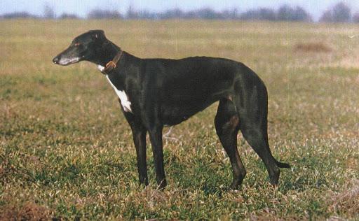 Какие породы собак имеют крепкое здоровье (Фото) - фото 5