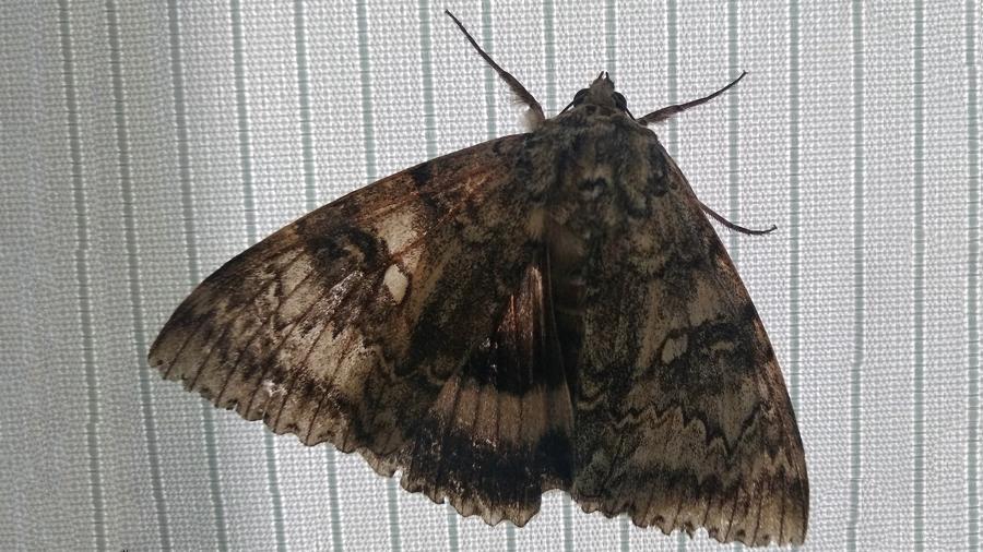 В Чернобыле обнаружили редкую бабочку размером с птицу - фото 2