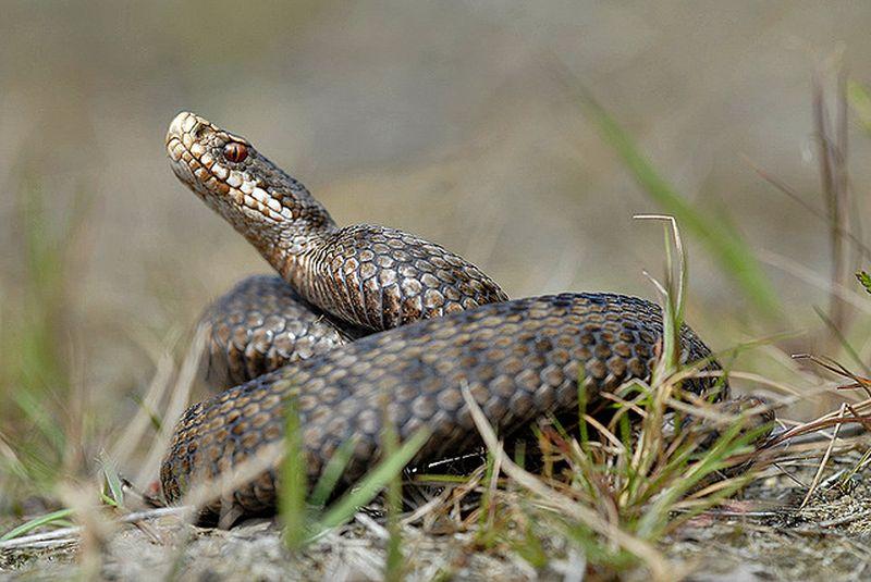 этого ядовитые змеи украины фото всегда хотят