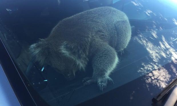 В Австралии из-за коалы произошло массовое ДТП: есть пострадавшие (ФОТО, ВИДЕО) - фото 2