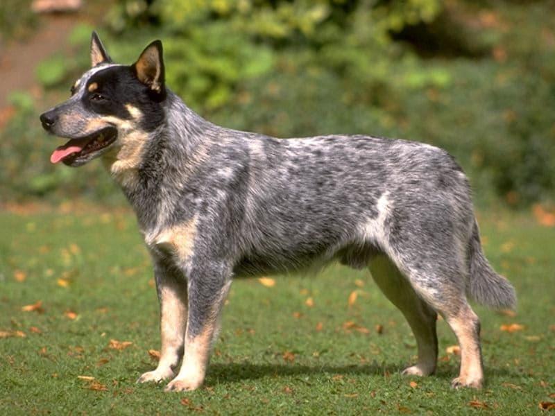 Какие породы собак имеют крепкое здоровье (Фото) - фото 3