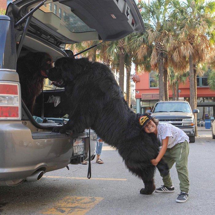 """Впечатляющие фото собак, которые стали """"большими мальчиками"""" - фото 3"""
