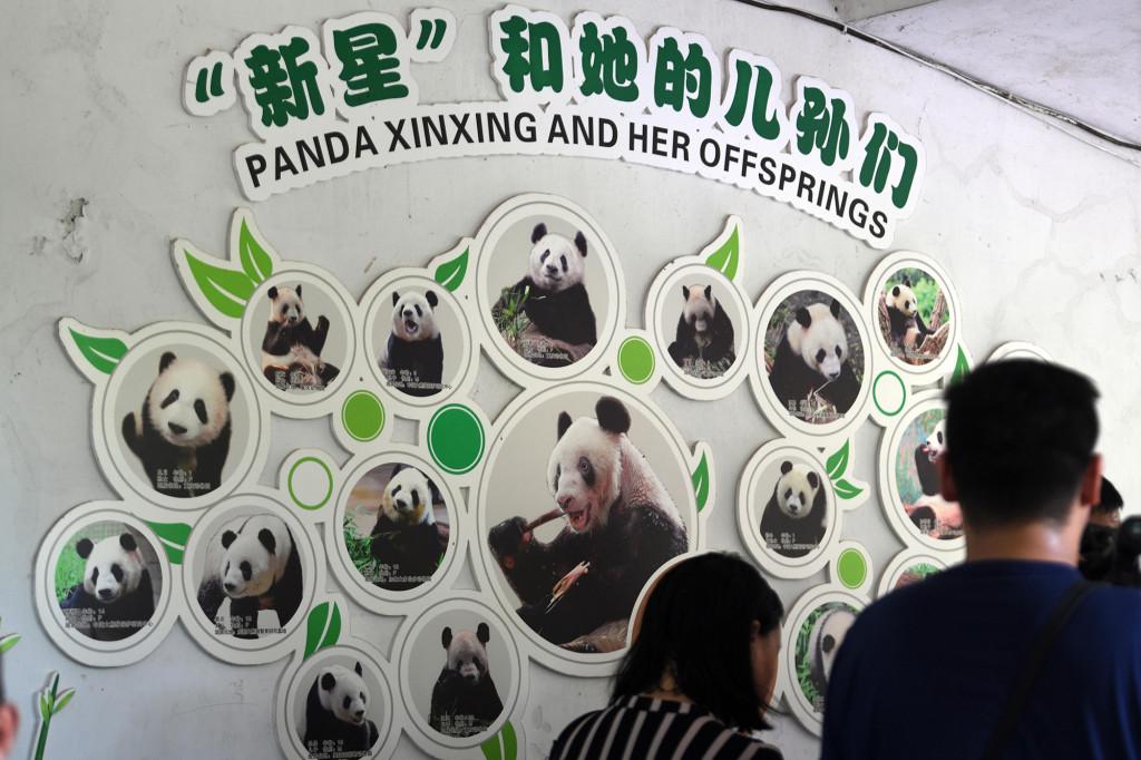 Прощай, Синь Син — не стало самой старой в мире панды - фото 5