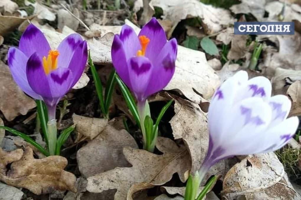 Весна прийшла: на Закарпатті розцвів червонокнижний шафран (ФОТОФАКТ) - фото 2