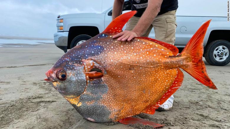 Тропический гигант: на берег Тихого океана вынесло уникальную рыбу (ФОТО) - фото 2