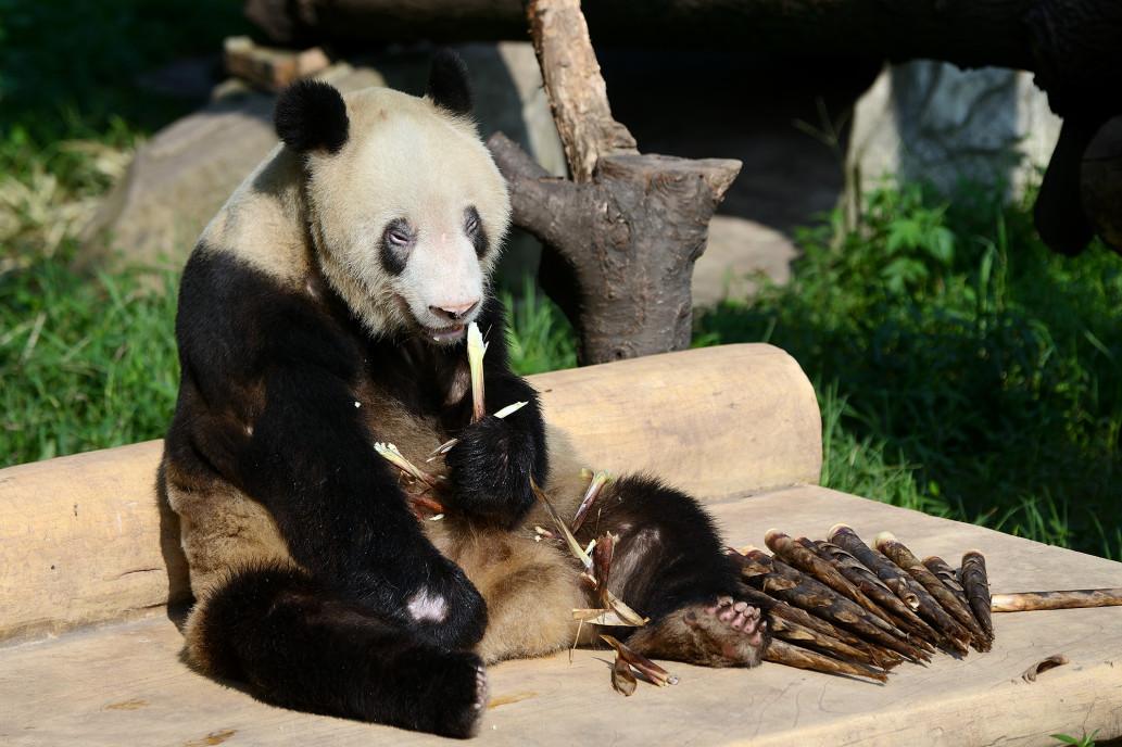 Прощай, Синь Син — не стало самой старой в мире панды - фото 2
