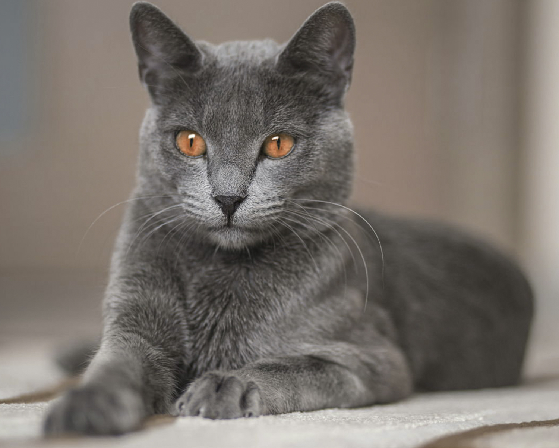 До 40 тыс. евро: 10 фото самых дорогих кошек - кроме безумной цены, они еще и невероятно милые - фото 2