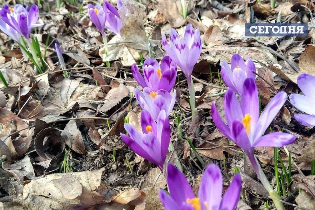 Весна прийшла: на Закарпатті розцвів червонокнижний шафран (ФОТОФАКТ) - фото 4