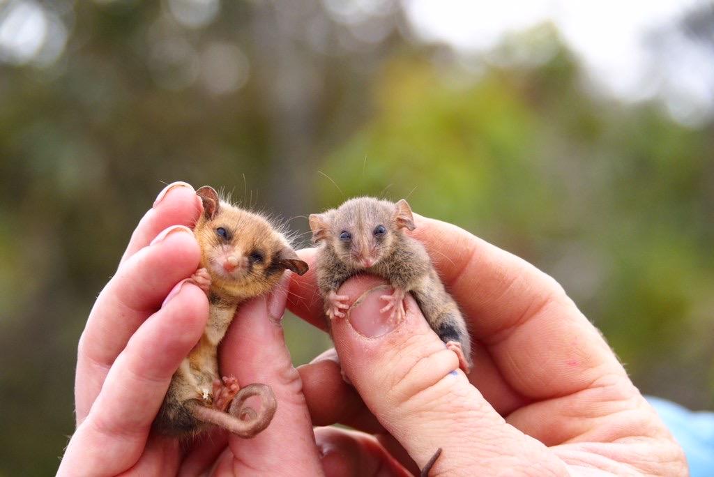 Ученые нашли карликовых опоссумов, которые выжили во время лесных пожаров в Австралии (фото) - фото 2